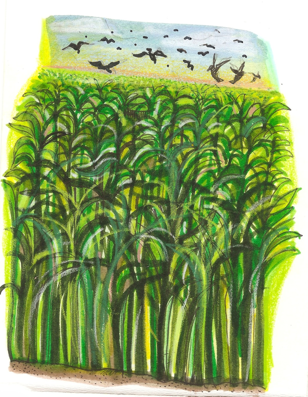 corn and crows